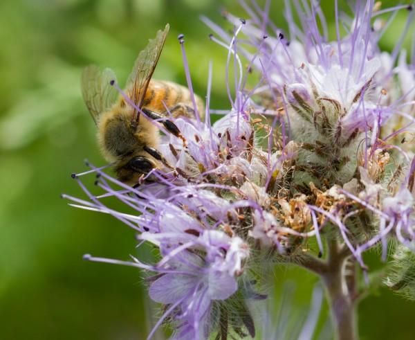 Bienenweide Phacelia 250g