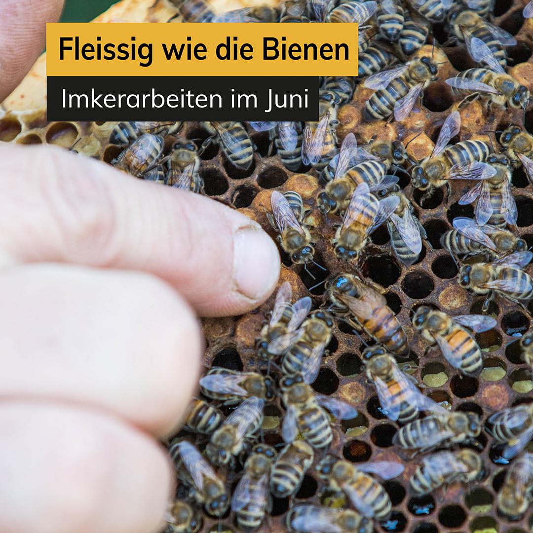 Fleißig wie die Bienen – Imkerarbeiten im Juni
